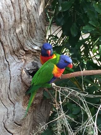healesville parrots